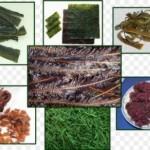 Морские водоросли — еда долгожителей
